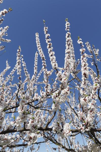 tree trees bloom blossom flourish flourishing