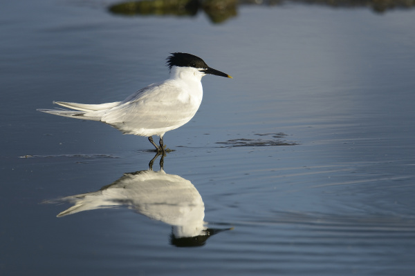 brandsea swallow sterna sandvicensis