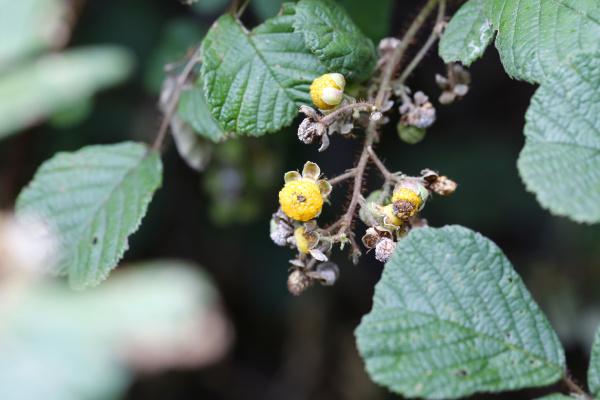 yellow himalayan raspberry rubus ellipticus invasive