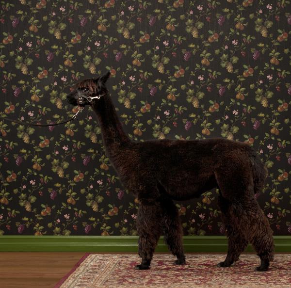 side view of alpaca standing against