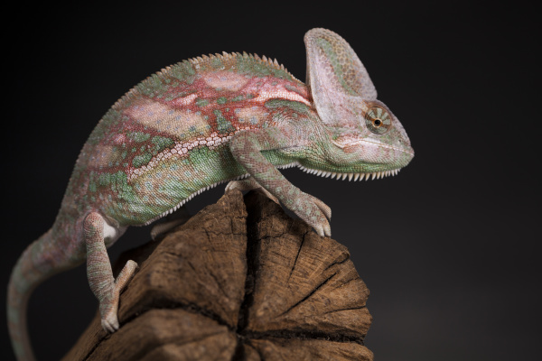 root green chameleon lizard