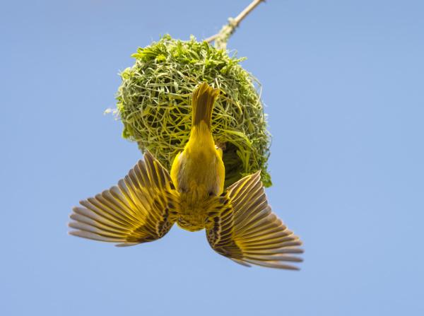 africa namibia weaver bird on nest