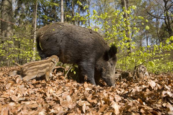 boars sus scrofa bache and frischlinge