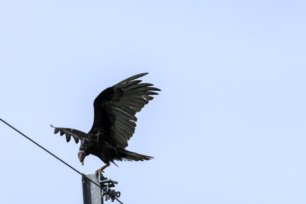 the turkey vulture cathartes aura