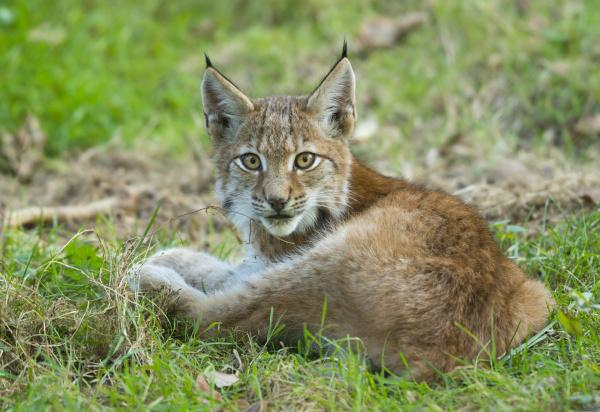 young lynx lynx lynx