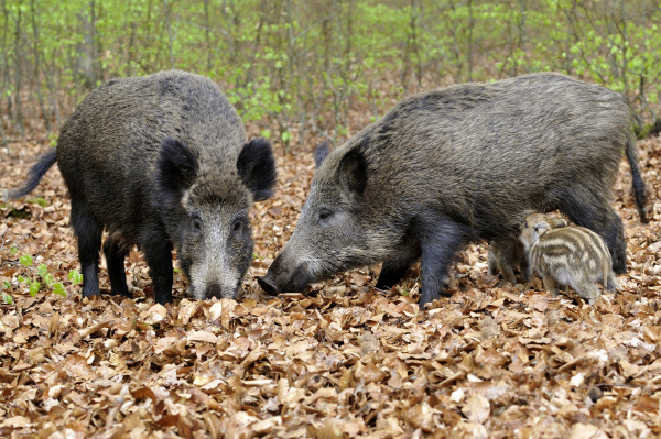 wild boar sus scrofa creeks in