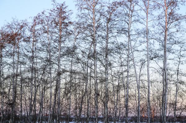 snow covered row of roterlen alnus