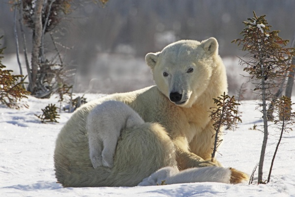 mother polar bear ursus maritimus