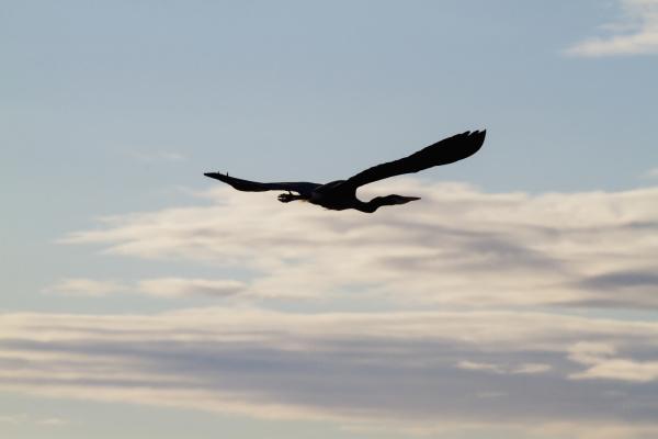 great blue heron ardea herodias flying