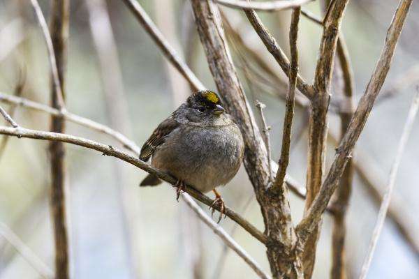 golden crowned sparrow zonotrichia atricapilla found