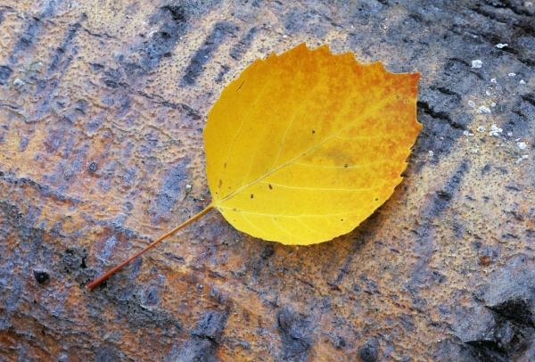 bigtooth aspen leaf on aspen bark