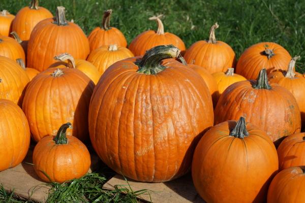pumpkins after harvesting