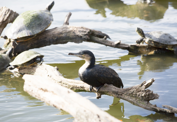 cormorant and turtles