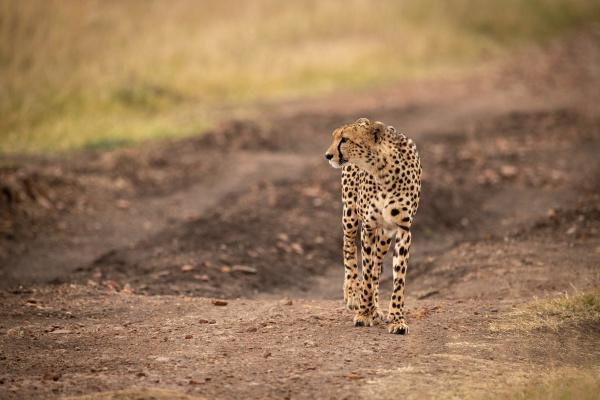 cheetah walks down dirt track looking
