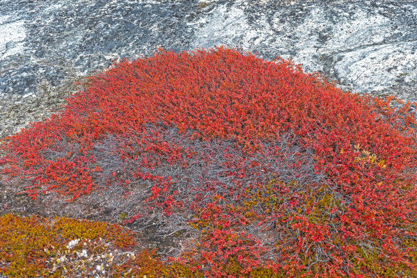 tundra plants in fall colors in