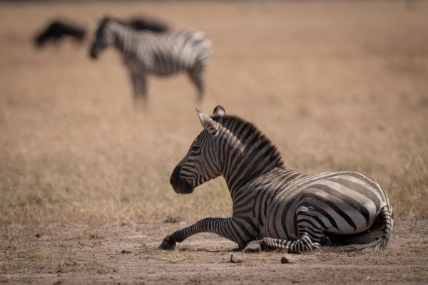 plains zebra lies on grass in