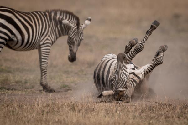 plains zebra rolls in dust by