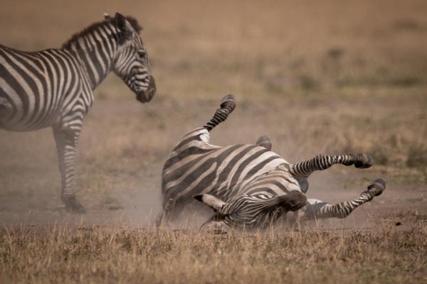 plains zebra rolls on back beside