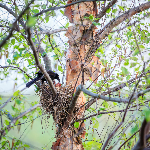 common grackle on the nest