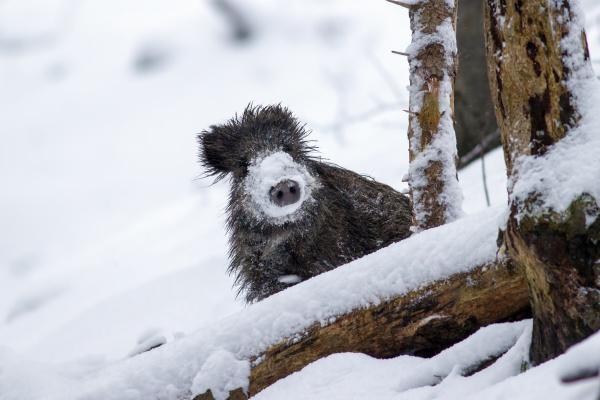 wild boar in winter peeking out