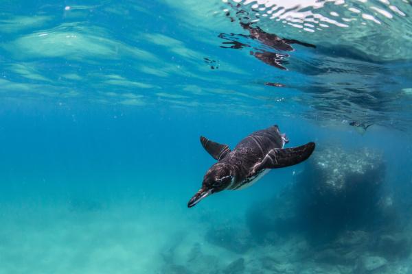 galapagos penguin spheniscus mendiculus swimming underwater