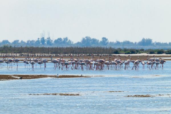 flock of pink flamingospo river lagoon