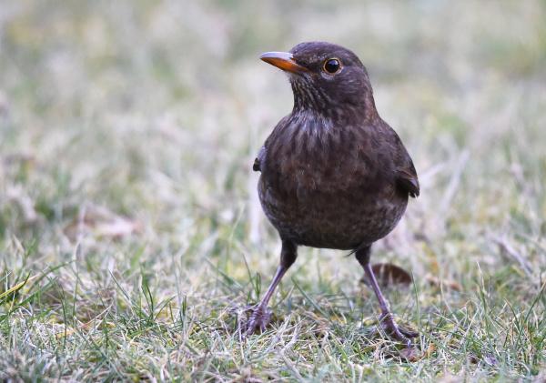 blackbird female