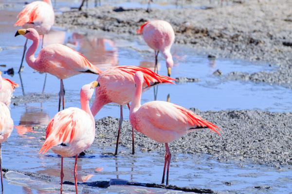 laguna hedionda flamingos bolivia