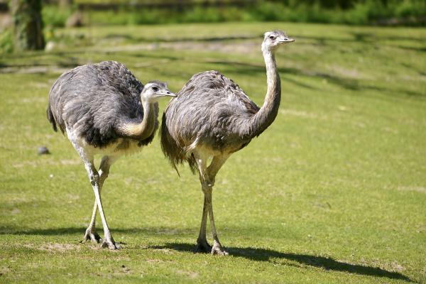 greater rheas walking on grass