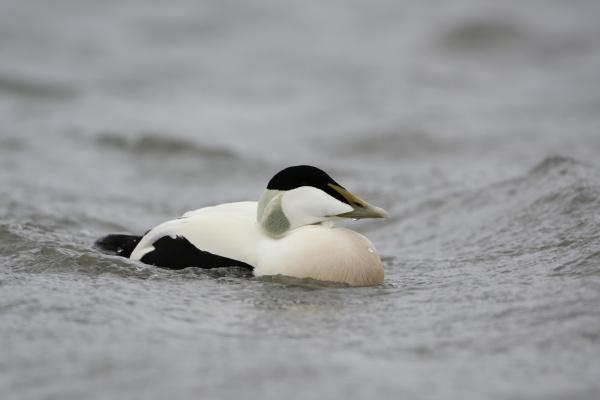 eider duck somateria mollissima
