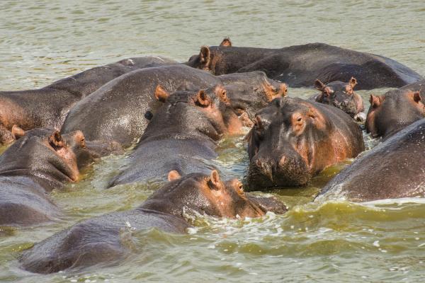 africa uganda hippopotamus hippopotamus amphibius group