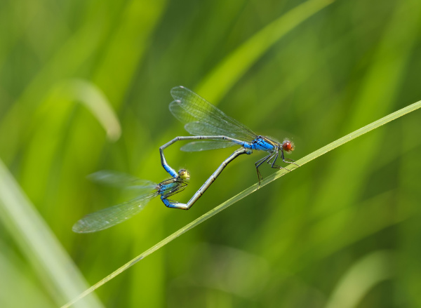two mating small red eyed damselflies