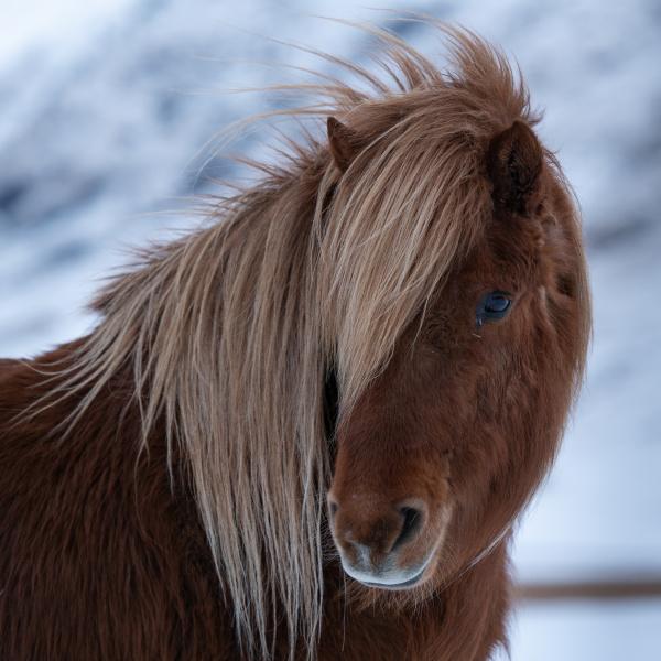 iceland horse equus caballus