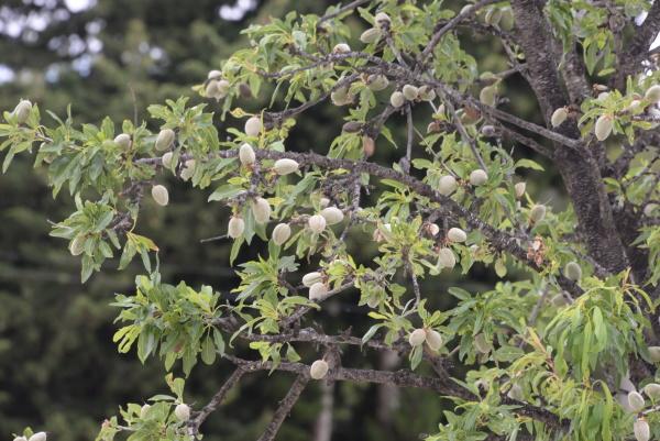 fresh almonds on tree costa blanca