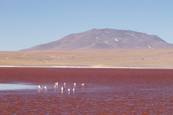 laguna colorada flamingos bolivia