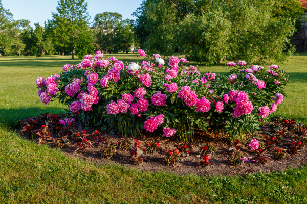 flower bed with blooming peonies