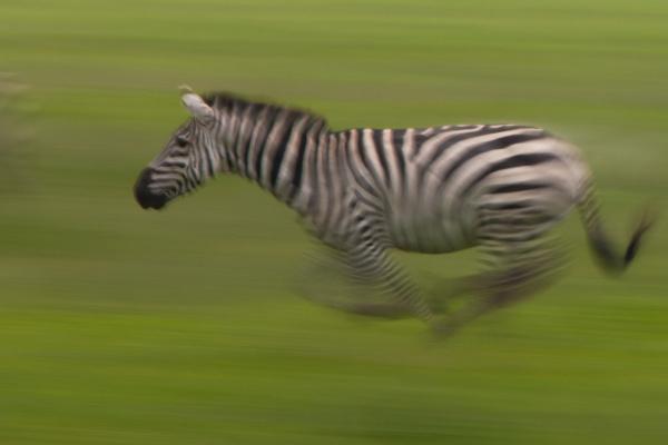 plains zebra ngorongoro conservation area tanzania