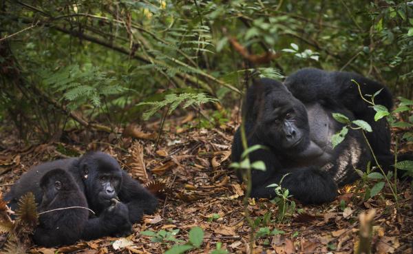 mountain gorillas and juvenile volcanoes