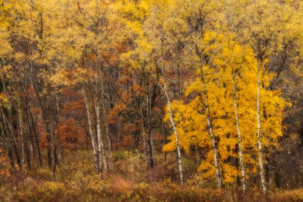 an impressionistic view of november aspens