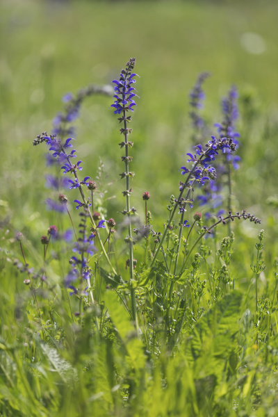 blossoming meadow sage