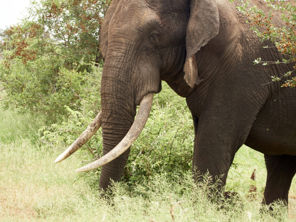 africa botswana chobe national park elephant