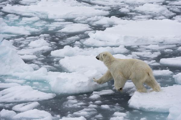 polar bear ursus maritimus polar ice