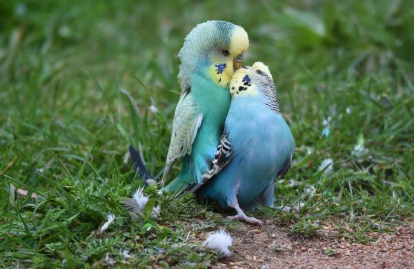 budgerigars mate
