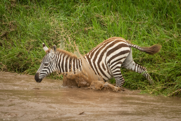 baby plains zebra jumps into muddy