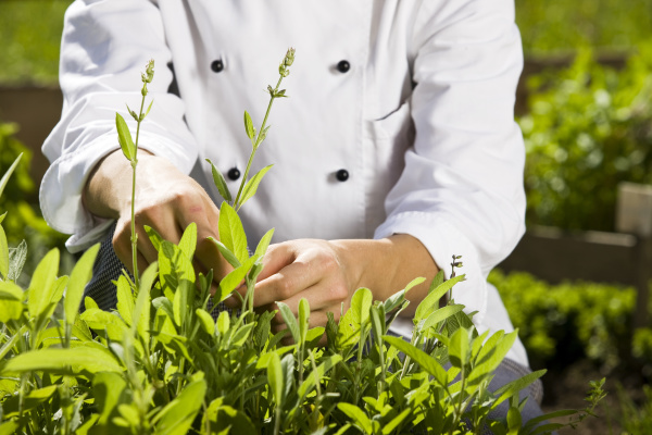 cook pulling off herbs from plant