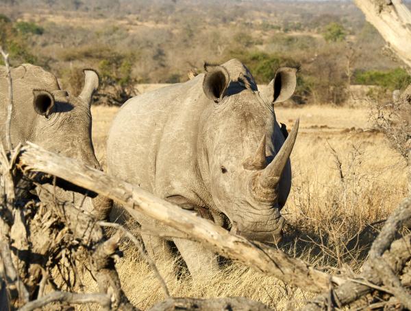 couple of rhinoceroses at the savannah