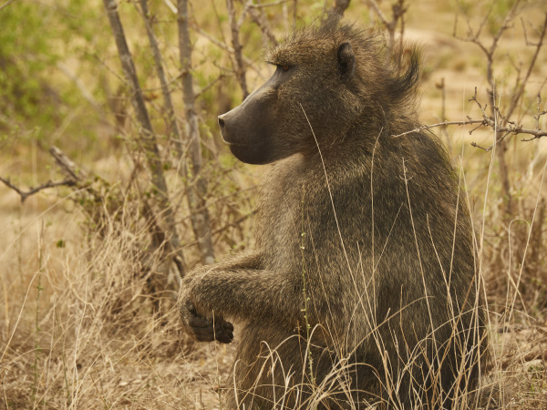 profile of a baboon kruger national