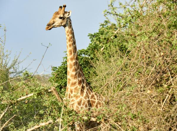 giraffe in the bush kruger national