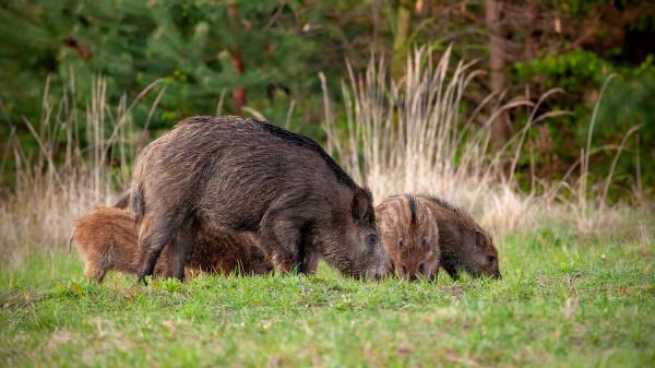 wild boar herd of hog and