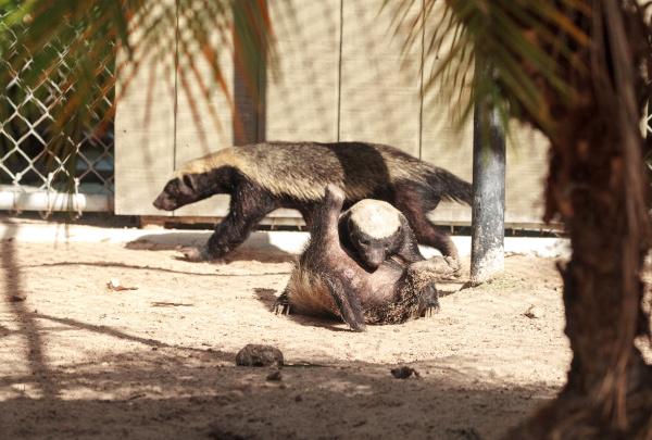 funny spread legged honey badger mellivora